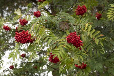 European Rowan, Sorbus aucuparia, with red fruit Stock Photo
