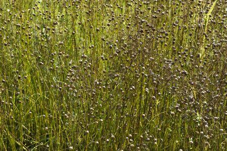 usitatissimum: Field with flaxseed in autumn
