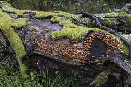 versicolor: Tree trunk with green moss and Trametes versicolor in the woods