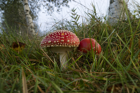 muscaria: Pair of Amanita mushrooms in the forest
