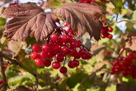 guelderrose: Red berries of the guelder-rose in autumn