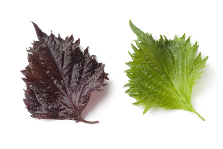 edible plant: Single fresh green and red shiso leaf on white background Stock Photo