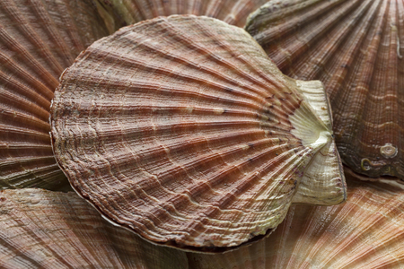 Fresh raw scallops on ice in the shell close up Stock Photo