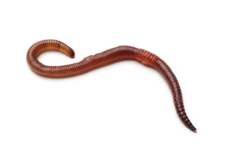 Single earthworm on white background