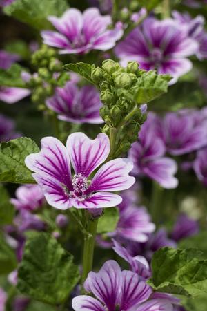 Purple Common mallow flowers Imagens
