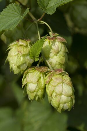 common hop: Twig of a hop plant close up Stock Photo