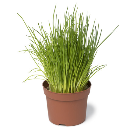 Brown plastic pot with fresh chives isolated on white background