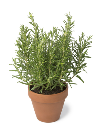 Brown terra cotta pot with fresh italian rosemary isolated on white background Stock Photo