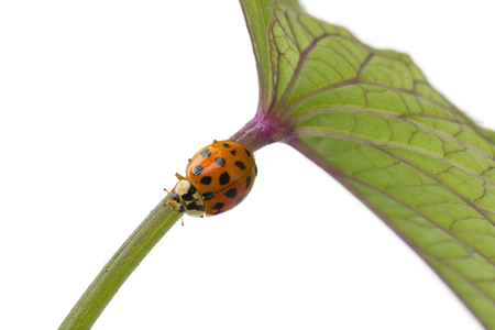 Ladybug on a stem of a plant at white background close up