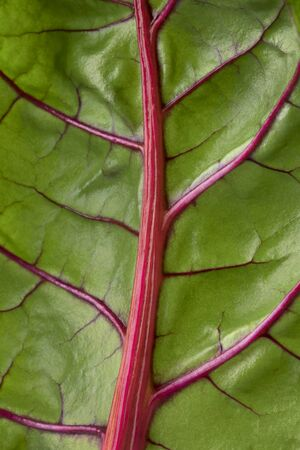 Red stemmed chard leaf close up full frame