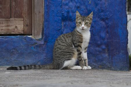 Portrait of an alert cat sitting in front of a blue wall watching people passing by