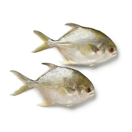 Pair of fresh raw golden pomfret fishes or Rays bream fish isolated on white background