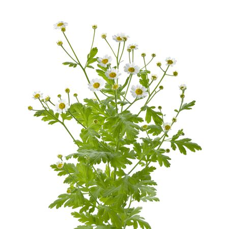 Twig of fresh blooming Feverfew on white background