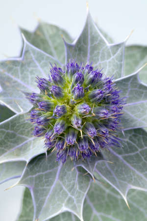 Fresh blue sea holly, Eryngium maritimum, with silver leaves close up