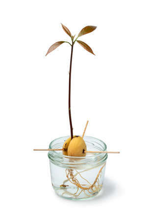 Avocado seedling in water in a glass jar isolated on white background