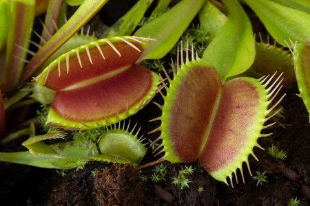Leaves of the Venus flytrap, Dionaea muscipula, subtropical carnivorous plant close up Фото со стока