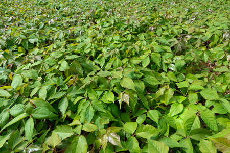Field with Toxicodendron radicans, commonly known as eastern poison ivy, grown for and used as homeopathic medicine Фото со стока