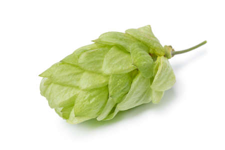 Single fresh green common hop fruit isolated on white background close up Фото со стока