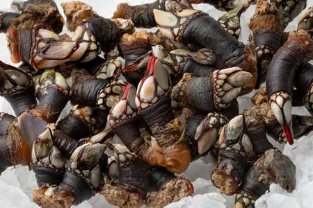 Group of fresh raw goose barnacles cooled on ice close up