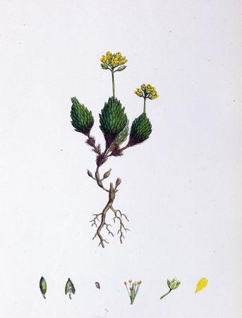 Botanical Print, Yellow Alpine Whitlow Grass, 19th century