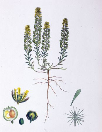 Botanical Print,Alyssum Calycinum, 19th century