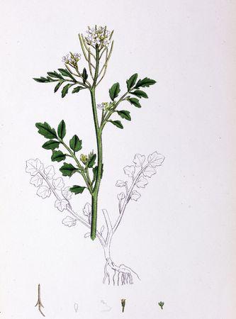 Botanical Print,Wood hairy Ladys smock, 19th century