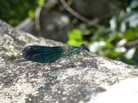 Dragonfly on rock photo