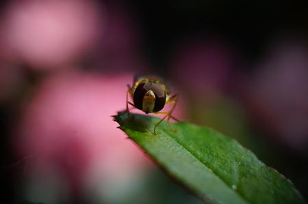 roseleaf: Wasp on Roseleaf