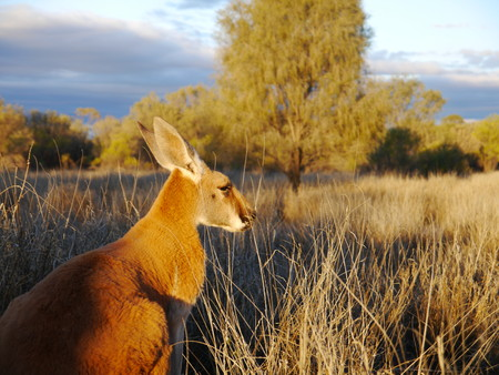 Close up of a kangaroo in the outback of Australia Stock Photo
