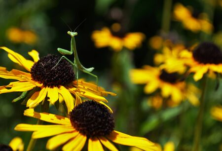 prayingmantis on a flower Foto de archivo - 133538591