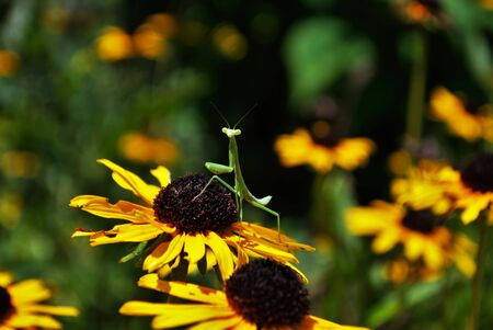 prayingmantis on a flower Foto de archivo - 133538592