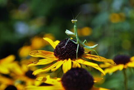praying mantis hanging out on a bright flower Foto de archivo - 133538593