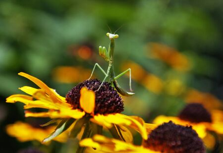 prayingmantis on a flower Foto de archivo - 133538595