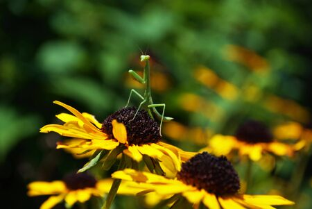 praying mantis hanging out on a bright flower Foto de archivo - 133538614