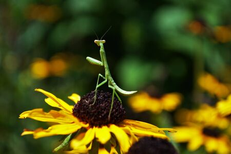 praying mantis hanging out on a bright flower Foto de archivo - 133538652