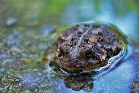 Vista cercana de una rana en el agua Foto de archivo