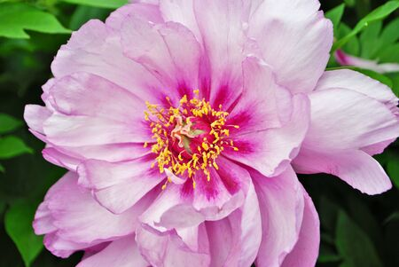 Close up of buds and flowers on a pink peony bush in the garden paeonia lactiflora