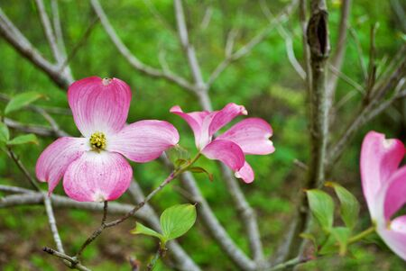 Pink Cornus florida rubra tree also known as pink flowering dogwood tree