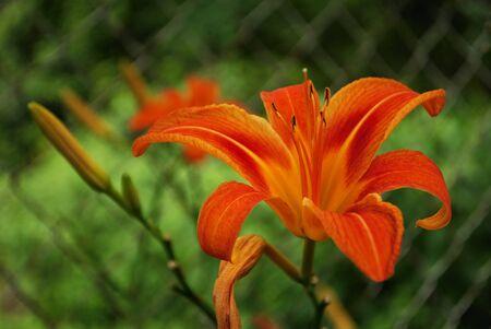 Bright orange stargazer lily blooming in a backyard garden Stock Photo