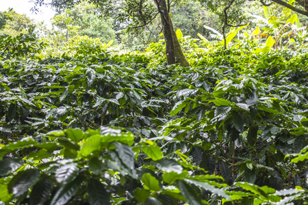 unpicked: Arabica Coffe Plants in Boquete in Panama
