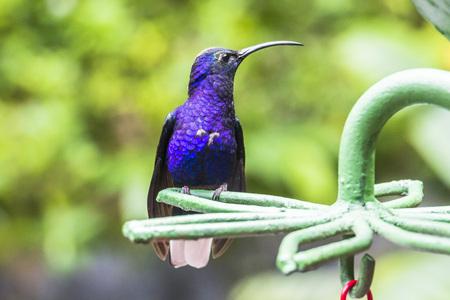 hummingbird: Blue hummingbird in the Monteverde region of Costa Rica