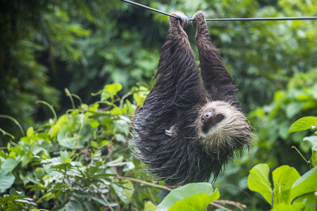 sloth: Lazy sloth in Panama hanging on electric cable