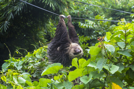 brown throated: Lazy sloth in Panama hanging on electric cable
