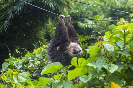 sloth: Pereza perezoso en Panamá colgando de cable eléctrico Foto de archivo
