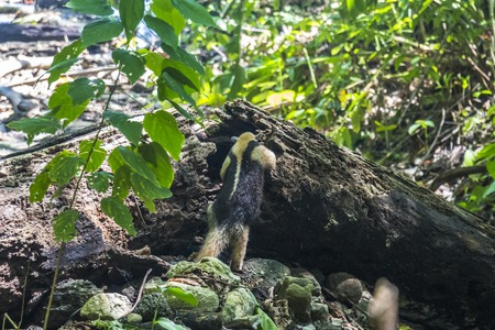 corcovado: Ant-eater searching for food in Corcovado, Costa Rica Stock Photo