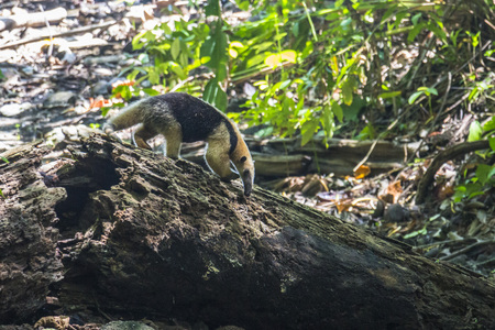 ant: Ant-eater searching for food in Corcovado, Costa Rica Stock Photo