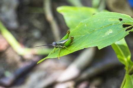 corcovado: Grasshopper on leaf in Corcovado, Costa Rica