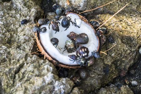 hermit crabs: Hermit crabs eating coconut in Corcovado, Costa Rica