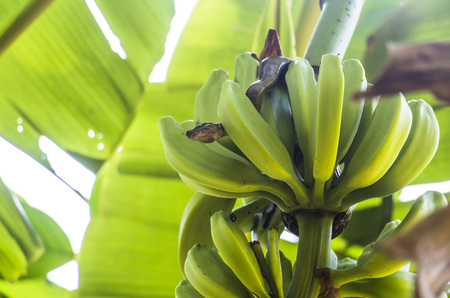 neighbours: Boa constrictor in Banana Plant in Corcovado, Costa Rica Stock Photo