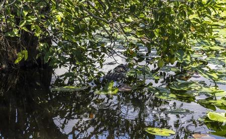 everglades: Alligator swimming in water in Everglades Park, Florida Stock Photo